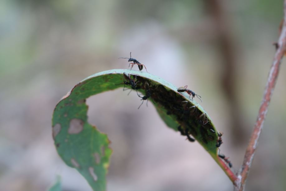 Ants on a gum leaf; the leader ant is looking ahead but also looking at the team